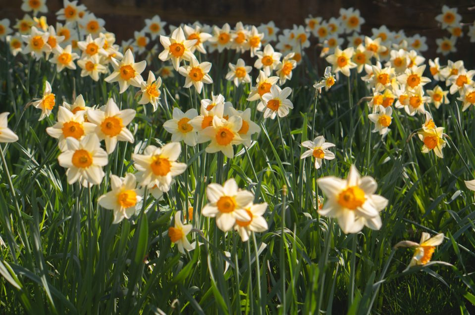 daffodils in a field